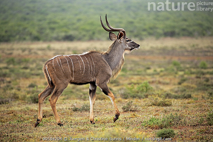 Greater Kudu (Tragelaphus strepsiceros) male, Addo National Park, South Africa  ,  Addo National Park, Adult, Color Image, Day, Full Length, Greater Kudu, Horizontal, Male, Nobody, One Animal, Outdoors, Photography, Side View, South Africa, Tragelaphus strepsiceros, Wildlife,Greater Kudu,South Africa  ,  Juergen & Christine Sohns