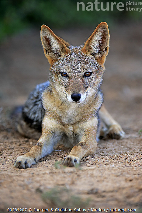 Black-backed Jackal (Canis mesomelas), Addo National Park, South Africa  ,  Addo National Park, Adult, Black-backed Jackal, Canis mesomelas, Color Image, Day, Front View, Full Length, Looking at Camera, Nobody, One Animal, Outdoors, Photography, South Africa, Vertical, Wildlife,Black-backed Jackal,South Africa  ,  Juergen & Christine Sohns
