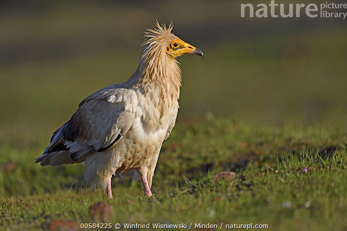 Egyptian Vulture (Neophron percnopterus), Extremadura, Spain  ,  Adult, Color Image, Day, Egyptian Vulture, Endangered Species, Extremadura, Full Length, Horizontal, Neophron percnopterus, Nobody, One Animal, Outdoors, Photography, Raptor, Side View, Spain, Wildlife,Egyptian Vulture,Spain  ,  Winfried Wisniewski
