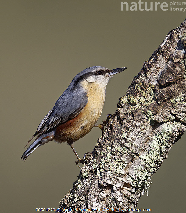 Wood Nuthatch (Sitta europaea), Castile-La Mancha, Spain  ,  Adult, Castile-La Mancha, Color Image, Day, Full Length, Nobody, One Animal, Outdoors, Photography, Side View, Sitta europaea, Songbird, Spain, Vertical, Wildlife, Wood Nuthatch,Wood Nuthatch,Spain  ,  Winfried Wisniewski