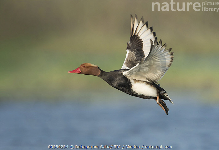 Red-crested Pochard (Netta rufina) male flying, West Bengal, India  ,  Adult, Color Image, Day, Duck, Flying, Full Length, Horizontal, India, Male, Netta rufina, Nobody, One Animal, Outdoors, Photography, Red-crested Pochard, Side View, Waterfowl, West Bengal, Wildlife,Red-crested Pochard,India  ,  Debapratim Saha/ BIA