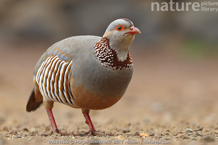 Red-legged Partridge (Alectoris rufa), Tenerife, Spain  ,  Adult, Alectoris rufa, Color Image, Day, Full Length, Gamebird, Horizontal, Nobody, One Animal, Outdoors, Photography, Red-legged Partridge, Side View, Spain, Tenerife, Wildlife,Red-legged Partridge,Spain  ,  Holger Doernhoff/ BIA