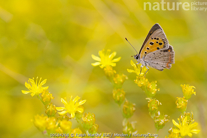 Small Copper (Lycaena phlaeas) butterfly on flower, Baden-Wurttemberg, Germany  ,  Adult, Baden-Wurttemberg, Butterfly, Color Image, Day, Full Length, Germany, Horizontal, Lycaena phlaeas, Nobody, One Animal, Outdoors, Photography, Side View, Small Copper, Wildlife,Small Copper,Germany  ,  Ralph Martin/ BIA