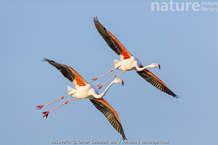 European Flamingo (Phoenicopterus roseus) pair flying, Camargue, France  ,  Adult, Camargue, Color Image, Day, European Flamingo, Flying, Formation, France, Full Length, Horizontal, Nobody, Outdoors, Pair, Photography, Phoenicopterus roseus, Side View, Two Animals, Wildlife,European Flamingo,France  ,  Oliver Geiseler/ BIA