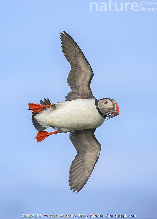 Atlantic Puffin (Fratercula arctica) flying with fish prey, Iceland, Adult, Atlantic Puffin, Carrying, Color Image, Day, Fish, Flying, Fratercula arctica, Full Length, Iceland, Nobody, One Animal, Outdoors, Photography, Predator, Prey, Seabird, Side View, Underside, Vertical, Wildlife,Atlantic Puffin,Iceland, Alan Murphy/ BIA