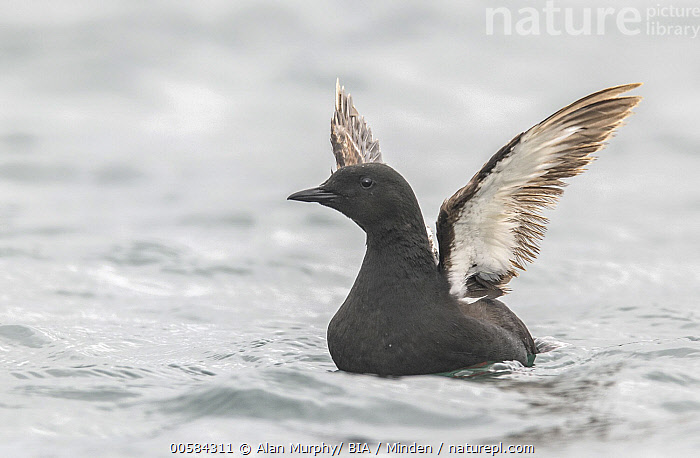 Black Guillemot (Cepphus grylle) flapping, Iceland, Adult, Black Guillemot, Cepphus grylle, Color Image, Day, Flapping, Full Length, Horizontal, Iceland, Nobody, One Animal, Outdoors, Photography, Seabird, Side View, Spreading Wings, Wildlife,Black Guillemot,Iceland, Alan Murphy/ BIA