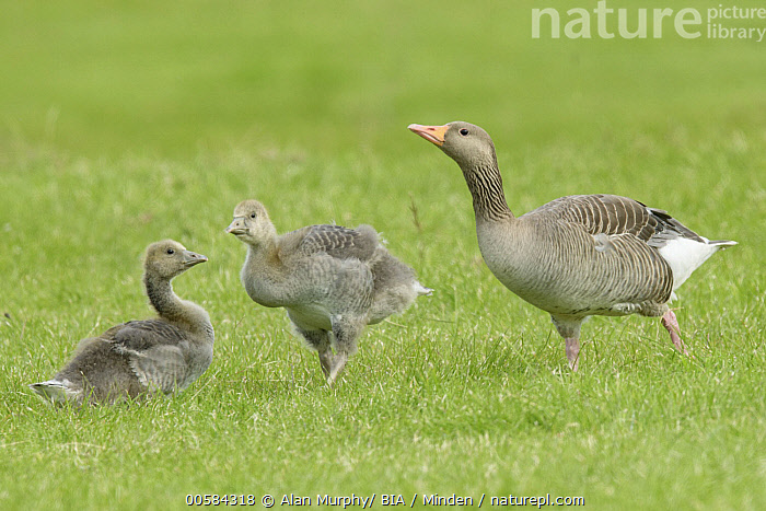 Greylag Goose (Anser anser) parent with goslings, Iceland  ,  Adult, Anser anser, Baby, Chick, Color Image, Day, Full Length, Gosling, Greylag Goose, Horizontal, Iceland, Nobody, Outdoors, Parent, Photography, Side View, Three Animals, Waterfowl, Wildlife,Greylag Goose,Iceland  ,  Alan Murphy/ BIA