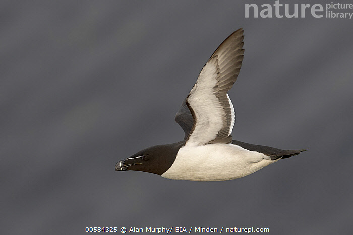 Razorbill (Alca torda) flying, Iceland  ,  Adult, Alca torda, Color Image, Day, Flying, Full Length, Horizontal, Iceland, Nobody, One Animal, Outdoors, Photography, Razorbill, Seabird, Side View, Wildlife,Razorbill,Iceland  ,  Alan Murphy/ BIA