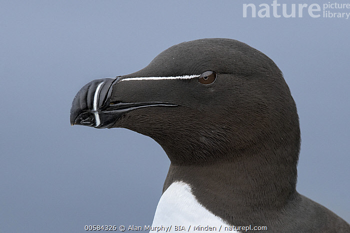 Razorbill (Alca torda), Iceland  ,  Adult, Alca torda, Close Up, Color Image, Day, Head and Shoulders, Horizontal, Iceland, Nobody, One Animal, Outdoors, Photography, Portrait, Profile, Razorbill, Seabird, Side View, Wildlife,Razorbill,Iceland  ,  Alan Murphy/ BIA