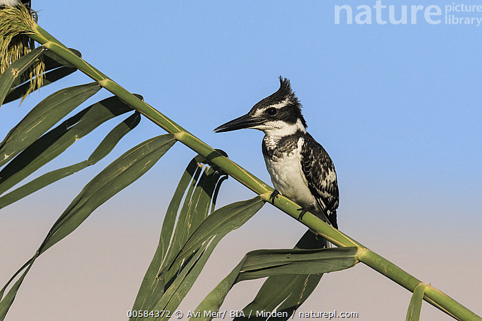 Pied Kingfisher (Ceryle rudis), Eilat, Israel  ,  Adult, Ceryle rudis, Color Image, Day, Eilat, Full Length, Horizontal, Israel, Nobody, One Animal, Outdoors, Photography, Pied Kingfisher, Side View, Wildlife,Pied Kingfisher,Israel  ,  Avi Meir/ BIA