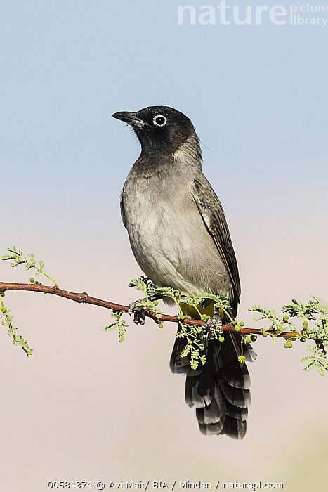 White-spectacled Bulbul (Pycnonotus xanthopygos), Eilat, Israel  ,  Adult, Color Image, Day, Eilat, Full Length, Israel, Nobody, One Animal, Outdoors, Photography, Pycnonotus xanthopygos, Side View, Songbird, Vertical, White-spectacled Bulbul, Wildlife,White-spectacled Bulbul,Israel  ,  Avi Meir/ BIA