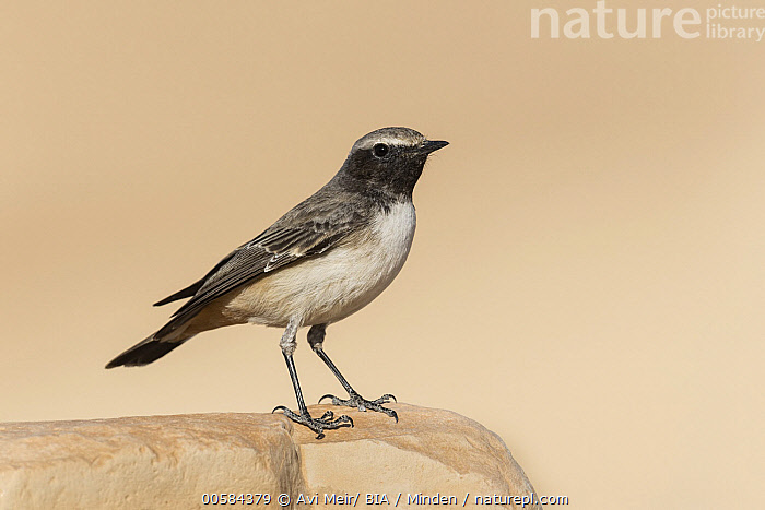 Rufous-tailed Wheatear (Oenanthe xanthoprymna) male, Arabah, Israel  ,  Adult, Arabah, Color Image, Day, Full Length, Horizontal, Israel, Male, Nobody, Oenanthe xanthoprymna, One Animal, Outdoors, Photography, Rufous-tailed Wheatear, Side View, Songbird, Wildlife,Rufous-tailed Wheatear,Israel  ,  Avi Meir/ BIA