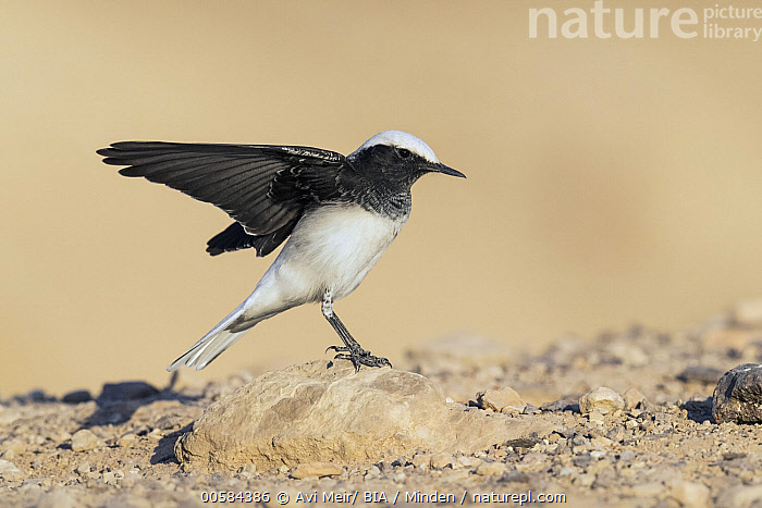 Hooded Wheatear (Oenanthe monacha) flapping, Eilat, Israel  ,  Adult, Black And White, Color Image, Day, Eilat, Flapping, Full Length, Hooded Wheatear, Horizontal, Israel, Nobody, Oenanthe monacha, One Animal, Outdoors, Photography, Side View, Songbird, Spreading Wings, Wildlife,Hooded Wheatear,Israel  ,  Avi Meir/ BIA