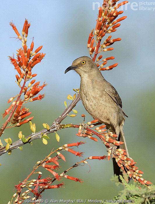 Curve-billed Thrasher (Toxostoma curvirostre), Arizona  ,  Adult, Arizona, Color Image, Curve-billed Thrasher, Day, Full Length, Nobody, One Animal, Outdoors, Photography, Side View, Songbird, Toxostoma curvirostre, Vertical, Wildlife,Curve-billed Thrasher,Arizona, USA  ,  Alan Murphy/ BIA