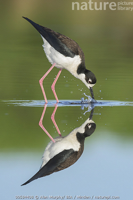 Black-necked Stilt (Himantopus mexicanus) foraging, Texas, Adult, Black-necked Stilt, Black And White, Color Image, Day, Foraging, Full Length, Himantopus mexicanus, Nobody, One Animal, Outdoors, Photography, Reflection, Shorebird, Side View, Still Water, Texas, Vertical, Wildlife,Black-necked Stilt,Texas, USA, Alan Murphy/ BIA