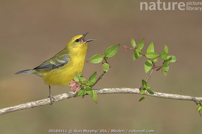 Blue-winged Warbler (Vermivora cyanoptera) male calling, Texas  ,  Adult, Blue-winged Warbler, Calling, Color Image, Day, Full Length, Horizontal, Male, Nobody, One Animal, Open Mouth, Outdoors, Photography, Side View, Singing, Songbird, Texas, Vermivora cyanoptera, Wildlife,Blue-winged Warbler,Texas, USA  ,  Alan Murphy/ BIA