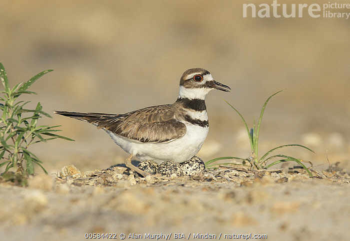 Killdeer (Charadrius vociferus) at nest with eggs, Texas  ,  Adult, Charadrius vociferus, Color Image, Day, Egg, Full Length, Horizontal, Killdeer, Nest, Nobody, One Animal, Outdoors, Photography, Shorebird, Side View, Texas, Three Objects, Wildlife,Killdeer,Texas, USA  ,  Alan Murphy/ BIA