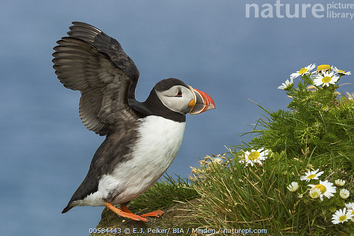 Atlantic Puffin (Fratercula arctica) flapping on cliff, Iceland  ,  Adult, Atlantic Puffin, Color Image, Day, Flapping, Fratercula arctica, Full Length, Horizontal, Iceland, Nobody, One Animal, Outdoors, Photography, Seabird, Side View, Spreading Wings, Wildlife,Atlantic Puffin,Iceland  ,  E.J. Peiker/ BIA