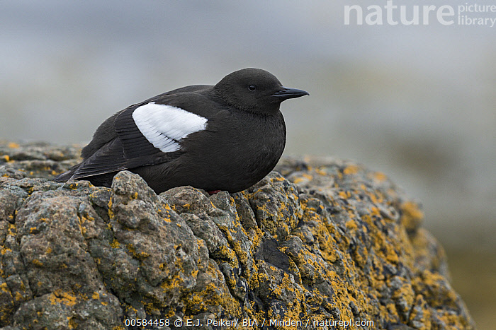 Black Guillemot (Cepphus grylle), Iceland  ,  Adult, Black Guillemot, Cepphus grylle, Color Image, Day, Full Length, Horizontal, Iceland, Nobody, One Animal, Outdoors, Photography, Seabird, Side View, Wildlife,Black Guillemot,Iceland  ,  E.J. Peiker/ BIA