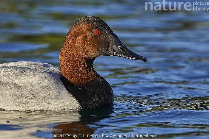 Canvasback (Aythya valisineria) male, Arizona  ,  Adult, Arizona, Aythya valisineria, Canvasback, Color Image, Day, Duck, Horizontal, Male, Nobody, One Animal, Outdoors, Photography, Side View, Waist Up, Waterfowl, Wildlife,Canvasback,Arizona, USA  ,  E.J. Peiker/ BIA
