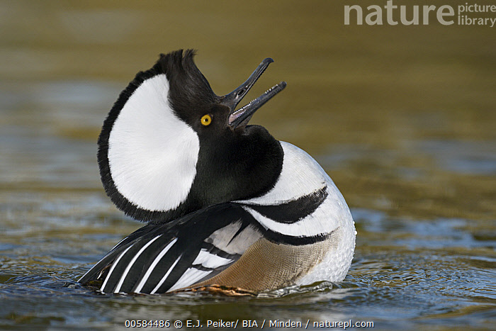 Hooded Merganser (Lophodytes cucullatus) male in courtship display, Arizona  ,  Adult, Arizona, Calling, Color Image, Courting, Day, Displaying, Duck, Full Length, Hooded Merganser, Horizontal, Lophodytes cucullatus, Male, Nobody, One Animal, Open Mouth, Outdoors, Photography, Posture, Side View, Waterfowl, Wildlife,Hooded Merganser,Arizona, USA  ,  E.J. Peiker/ BIA