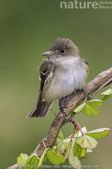 Acadian Flycatcher (Empidonax virescens), Texas, Acadian Flycatcher, Adult, Color Image, Day, Empidonax virescens, Front View, Full Length, Nobody, One Animal, Outdoors, Photography, Songbird, Texas, Vertical, Wildlife,Acadian Flycatcher,Texas, USA, E.J. Peiker/ BIA