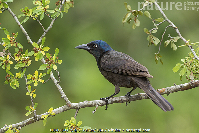Common Grackle (Quiscalus quiscula), Texas, Adult, Color Image, Common Grackle, Day, Full Length, Horizontal, Nobody, One Animal, Outdoors, Photography, Quiscalus quiscula, Side View, Songbird, Texas, Wildlife,Common Grackle,Texas, USA, E.J. Peiker/ BIA