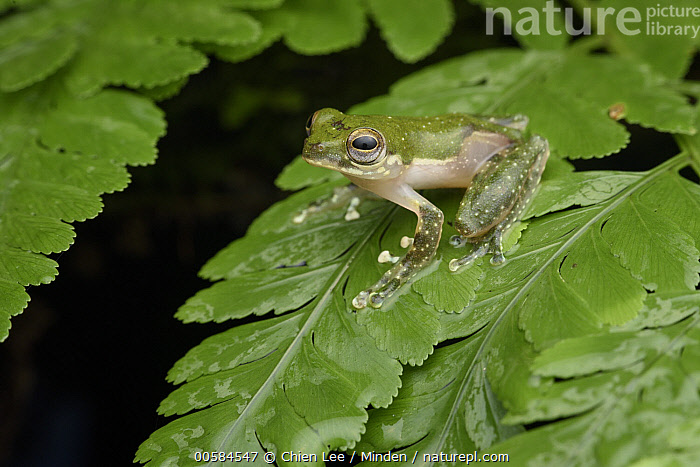 White-eared Treefrog (Rhacophorus kajau), Gunung Penrissen, Sarawak, Borneo, Malaysia  ,  Adult, Borneo, Color Image, Day, Full Length, Gunung Penrissen, Horizontal, Malaysia, Nobody, One Animal, Outdoors, Photography, Rhacophorus kajau, Sarawak, Side View, White-eared Treefrog, Wildlife,White-eared Treefrog,Malaysia  ,  Chien Lee