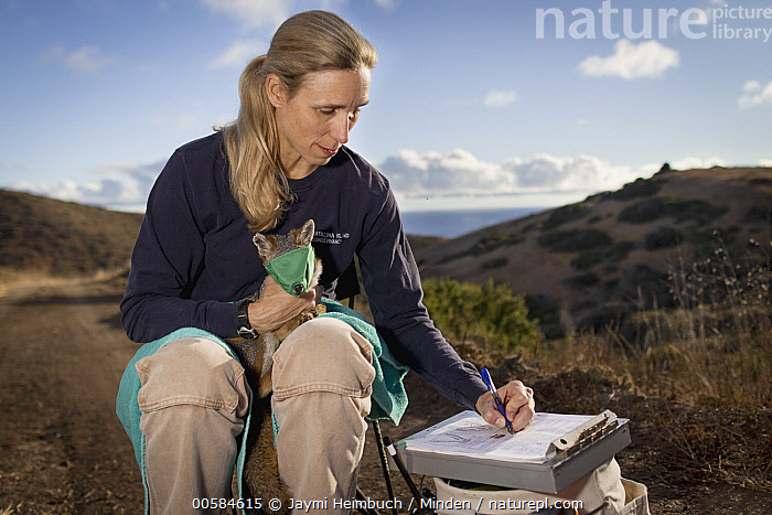 Santa Catalina Island Fox (Urocyon littoralis catalinae) biologist, Julie King, examining fox during vaccination and health check up, Santa Catalina Island, Channel Islands, California, Adult, Biologist, California, Caucasian Appearance, Channel Islands, Color Image, Conservation, Data Collection, Day, Endemic, Examining, Female, Front View, Full Length, Horizontal, Julie King, Mid Adult, One Animal, One Person, Outdoors, Photography, Researching, Santa Catalina Island, Santa Catalina Island Fox, Three Quarter Length, Urocyon littoralis catalinae, Wildlife, Woman, Writing, Jaymi Heimbuch