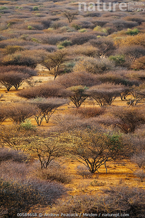 Red-bark Acacia (Vachellia reficiens) trees growing in overgrazed land, Westgate Community Conservancy, Naibelibeli Plains, Kenya, Aerial View, Color Image, Day, Kenya, Landscape, Naibelibeli Plains, Nobody, Outdoors, Overgrazed, Photography, Red-bark Acacia, Tree, Vachellia reficiens, Vertical, Westgate Community Conservancy,Red-bark Acacia,Kenya, Andrew Peacock