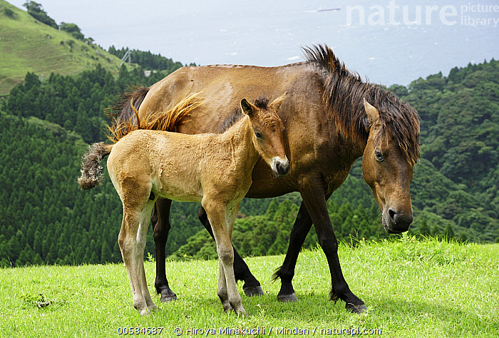 Wild Horse (Equus caballus) mother and foal, Cape Toi, Miyazaki, Japan  ,  Adult, Baby, Cape Toi, Color Image, Day, Equus caballus, Female, Foal, Full Length, Horizontal, Japan, Miyazaki, Mother, Nobody, Outdoors, Parent, Photography, Side View, Two Animals, Wild Horse, Wildlife  ,  Hiroya Minakuchi