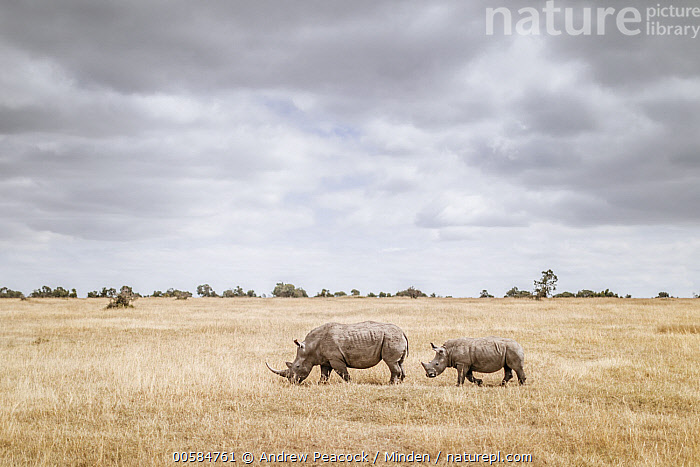 White Rhinoceros (Ceratotherium simum) mother and calf in grassland, Ol Pejeta Conservancy, Kenya, Adult, Animal in Habitat, Baby, Calf, Ceratotherium simum, Cloudy, Color Image, Day, Female, Full Length, Grassland, Horizon, Horizontal, Kenya, Mother, Nobody, Ol Pejeta Conservancy, Outdoors, Parent, Photography, Side View, Two Animals, White Rhinoceros, Wildlife,White Rhinoceros,Kenya, Andrew Peacock