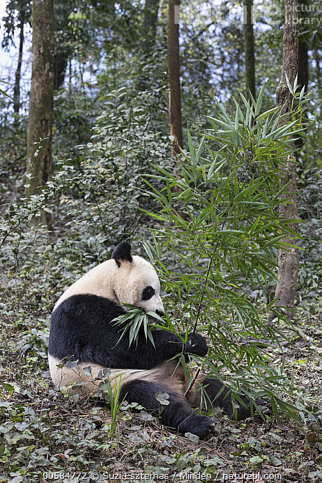 Giant Panda (Ailuropoda melanoleuca) feeding on bamboo, Bifengxia Panda Base, Sichuan, China  ,  Adult, Ailuropoda melanoleuca, Bamboo, Bifengxia Panda Base, Breeding Center, Captive, China, Color Image, Day, Feeding, Full Length, Giant Panda, Nobody, One Animal, Outdoors, Photography, Sichuan, Side View, Threatened Species, Vertical, Vulnerable Species, Wildlife,Giant Panda,China  ,  Suzi Eszterhas
