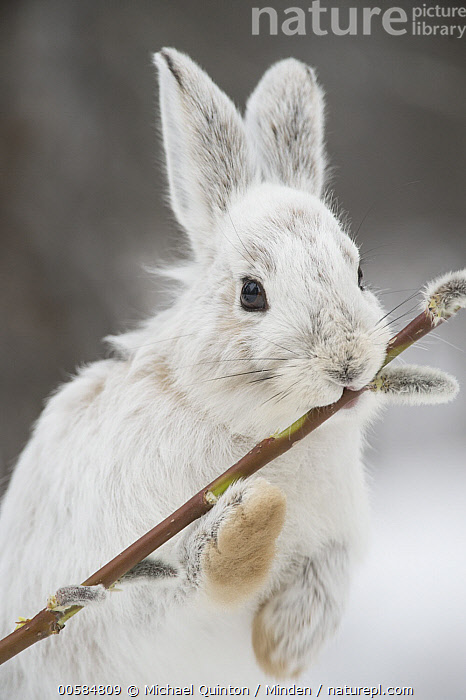 Snowshoe Hare (Lepus americanus) browsing on a Pussy Willow (Salix discolor) twig in winter, Alaska, Adult, Alaska, Browsing, Camouflage, Color Image, Cute, Day, Eating, Feeding, Lepus americanus, Nobody, One Animal, Outdoors, Photography, Pussy Willow, Salix Discolor, Side View, Snowshoe Hare, Vertical, Waist Up, White, Wildlife, Winter,Snowshoe Hare,Pussy Willow,Salix discolor,Alaska, USA, Michael Quinton