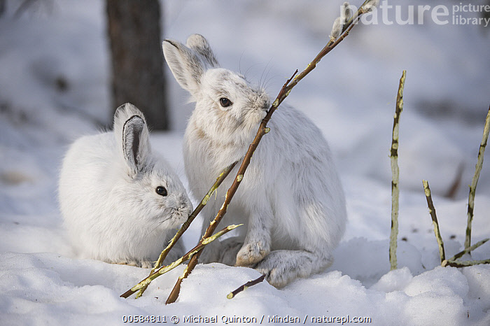 Snowshoe Hare (Lepus americanus) pair browsing on a Pussy Willow (Salix discolor) twig in winter, Alaska  ,  Adult, Alaska, Browsing, Camouflage, Color Image, Cute, Day, Eating, Feeding, Front View, Full Length, Horizontal, Lepus americanus, Looking at Camera, Nobody, Outdoors, Photography, Pussy Willow, Salix Discolor, Side View, Snow, Snowshoe Hare, Two Animals, Waist Up, White, Wildlife, Winter,Snowshoe Hare,Pussy Willow,Salix discolor,Alaska, USA  ,  Michael Quinton