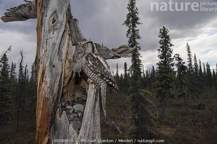 Northern Hawk Owl (Surnia ulula) parent bringing Northern Red-backed Vole (Clethrionomys rutilus)prey to chicks in nest in taiga, Alaska  ,  Adult, Alaska, Animal in Habitat, Baby, Boreal Forest, Bringing Food, Carrying, Chick, Clethrionomys rutilus, Color Image, Day, Five Animals, Full Length, Horizontal, Nest, Nobody, Northern Hawk Owl, Northern Red-backed Vole, Outdoors, Parent, Parenting, Photography, Predator, Prey, Raptor, Side View, Surnia ulula, Taiga, Wildlife,Northern Hawk Owl,Northern Red-backed Vole,Clethrionomys rutilus,Alaska, USA  ,  Michael Quinton