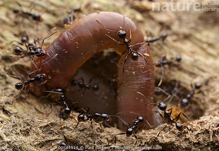 Ant (Formicidae) group carrying worm prey into colony, Ranomafana National Park, Madagascar  ,  Adult, Ant, Carrying, Color Image, Colony, Cooperation, Day, Formicidae, Full Length, Horizontal, Large Group of Animals, Madagascar, Nobody, Outdoors, Photography, Predator, Prey, Ranomafana National Park, Side View, Teamwork, Top View, Wildlife, Worm,Ant,Madagascar  ,  Paul Bertner