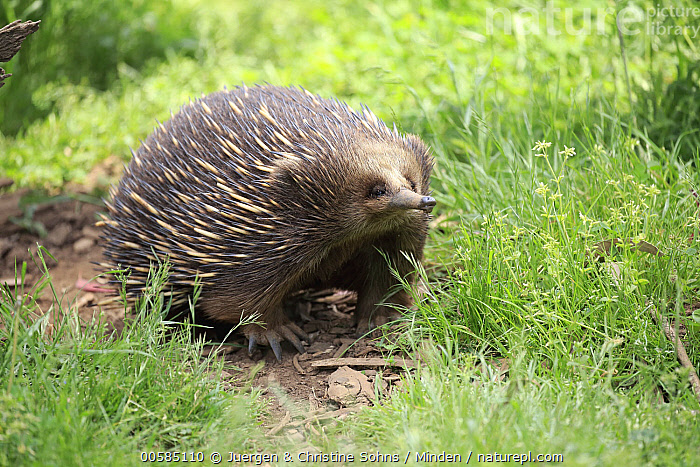 Short-beaked Echidna (Tachyglossus aculeatus), Phillip Island, Gippsland, Victoria, Australia  ,  Adult, Australia, Captive, Color Image, Day, Endemic, Full Length, Gippsland, Horizontal, Nobody, One Animal, Outdoors, Phillip Island, Photography, Short-beaked Echidna, Side View, Tachyglossus aculeatus, Victoria, Wildlife,Short-beaked Echidna,Australia  ,  Juergen & Christine Sohns