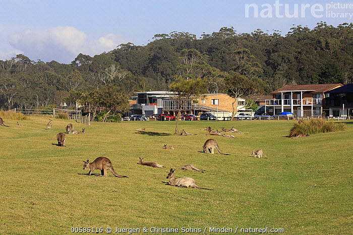 Eastern Grey Kangaroo (Macropus giganteus) group near houses, Maloney Beach, New South Wales, Australia, Adult, Australia, Color Image, Day, Eastern Grey Kangaroo, Encroaching, Endemic, Environmental Issue, Full Length, Habitat Loss, Horizontal, House, Large Group of Animals, Macropus giganteus, Maloney Beach, Marsupial, New South Wales, Nobody, Outdoors, Photography, Side View, Urban, Wildlife,Eastern Grey Kangaroo,Australia, Juergen & Christine Sohns
