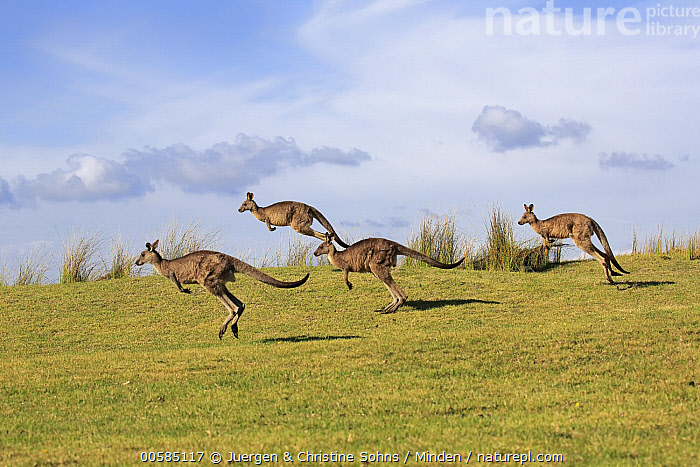 Eastern Grey Kangaroo (Macropus giganteus) group jumping, Maloney Beach, New South Wales, Australia  ,  Adult, Australia, Color Image, Day, Eastern Grey Kangaroo, Endemic, Four Animals, Full Length, Horizontal, Jumping, Macropus giganteus, Maloney Beach, Marsupial, New South Wales, Nobody, Outdoors, Photography, Side View, Wildlife,Eastern Grey Kangaroo,Australia  ,  Juergen & Christine Sohns