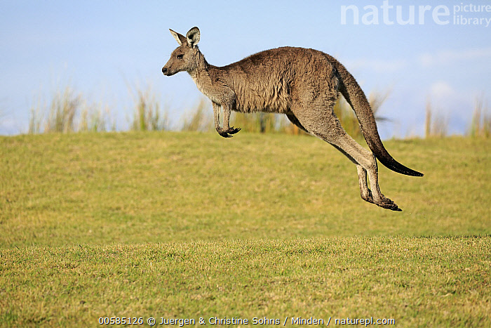 Eastern Grey Kangaroo (Macropus giganteus) female jumping, Maloney Beach, New South Wales, Australia  ,  Adult, Australia, Color Image, Day, Eastern Grey Kangaroo, Endemic, Female, Full Length, Horizontal, Jumping, Macropus giganteus, Maloney Beach, Marsupial, New South Wales, Nobody, One Animal, Outdoors, Photography, Side View, Wildlife,Eastern Grey Kangaroo,Australia  ,  Juergen & Christine Sohns
