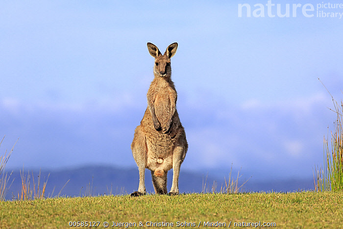 Eastern Grey Kangaroo (Macropus giganteus) male, Maloney Beach, New South Wales, Australia  ,  Adult, Australia, Color Image, Day, Eastern Grey Kangaroo, Endemic, Front View, Full Length, Horizontal, Looking at Camera, Macropus giganteus, Male, Maloney Beach, Marsupial, New South Wales, Nobody, One Animal, Outdoors, Photography, Wildlife,Eastern Grey Kangaroo,Australia  ,  Juergen & Christine Sohns