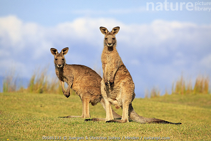 Eastern Grey Kangaroo (Macropus giganteus) pair, Maloney Beach, New South Wales, Australia  ,  Adult, Australia, Color Image, Day, Eastern Grey Kangaroo, Endemic, Full Length, Horizontal, Looking at Camera, Macropus giganteus, Maloney Beach, Marsupial, New South Wales, Nobody, Outdoors, Photography, Side View, Two Animals, Wildlife,Eastern Grey Kangaroo,Australia  ,  Juergen & Christine Sohns