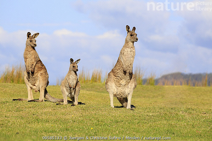 Eastern Grey Kangaroo (Macropus giganteus) family, Maloney Beach, New South Wales, Australia  ,  Adult, Australia, Baby, Color Image, Day, Eastern Grey Kangaroo, Endemic, Family, Father, Female, Front View, Full Length, Horizontal, Joey, Macropus giganteus, Male, Maloney Beach, Marsupial, Mother, New South Wales, Nobody, Outdoors, Parent, Photography, Two Animals, Wildlife,Eastern Grey Kangaroo,Australia  ,  Juergen & Christine Sohns