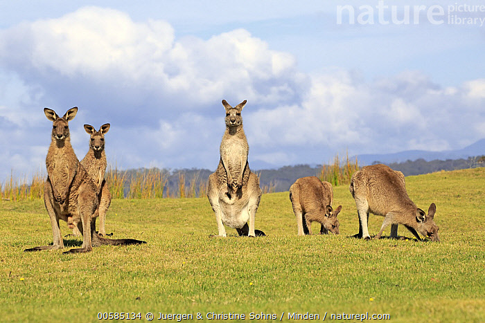 Eastern Grey Kangaroo (Macropus giganteus) group, Maloney Beach, New South Wales, Australia  ,  Adult, Australia, Color Image, Day, Eastern Grey Kangaroo, Endemic, Five Animals, Front View, Full Length, Grazing, Horizontal, Looking at Camera, Macropus giganteus, Maloney Beach, Marsupial, New South Wales, Nobody, Outdoors, Photography, Side View, Wildlife,Eastern Grey Kangaroo,Australia  ,  Juergen & Christine Sohns