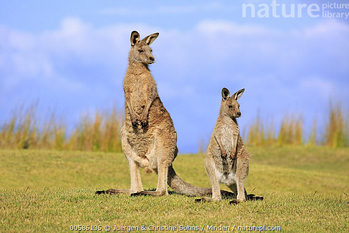 Eastern Grey Kangaroo (Macropus giganteus) mother with joey, Maloney Beach, New South Wales, Australia  ,  Adult, Australia, Baby, Color Image, Day, Eastern Grey Kangaroo, Endemic, Female, Front View, Full Length, Horizontal, Joey, Macropus giganteus, Maloney Beach, Marsupial, Mother, New South Wales, Nobody, Outdoors, Parent, Photography, Two Animals, Wildlife,Eastern Grey Kangaroo,Australia  ,  Juergen & Christine Sohns