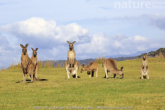 Eastern Grey Kangaroo (Macropus giganteus) group including mother with joey, Maloney Beach, New South Wales, Australia, Adult, Australia, Baby, Carrying, Color Image, Day, Eastern Grey Kangaroo, Endemic, Female, Front View, Full Length, Grazing, Horizontal, Joey, Looking at Camera, Macropus giganteus, Maloney Beach, Marsupial, Medium Group of Animals, Mother, New South Wales, Nobody, Outdoors, Parent, Photography, Pouch, Side View, Wildlife,Eastern Grey Kangaroo,Australia, Juergen & Christine Sohns