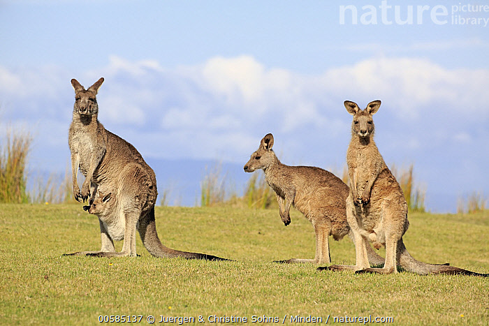 Eastern Grey Kangaroo (Macropus giganteus) group including mother with joey, Maloney Beach, New South Wales, Australia  ,  Adult, Australia, Baby, Carrying, Color Image, Day, Eastern Grey Kangaroo, Endemic, Female, Four Animals, Full Length, Horizontal, Joey, Looking at Camera, Macropus giganteus, Maloney Beach, Marsupial, Mother, New South Wales, Nobody, Outdoors, Parent, Photography, Pouch, Side View, Wildlife,Eastern Grey Kangaroo,Australia  ,  Juergen & Christine Sohns