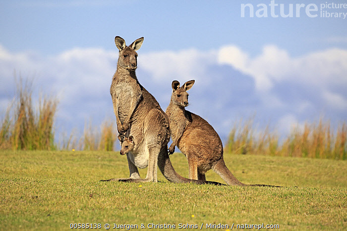Eastern Grey Kangaroo (Macropus giganteus) mother with joey and juvenile, Maloney Beach, New South Wales, Australia  ,  Adult, Australia, Baby, Carrying, Color Image, Day, Eastern Grey Kangaroo, Endemic, Female, Full Length, Horizontal, Joey, Juvenile, Macropus giganteus, Maloney Beach, Marsupial, Mother, New South Wales, Nobody, Outdoors, Parent, Photography, Pouch, Side View, Three Animals, Wildlife,Eastern Grey Kangaroo,Australia  ,  Juergen & Christine Sohns