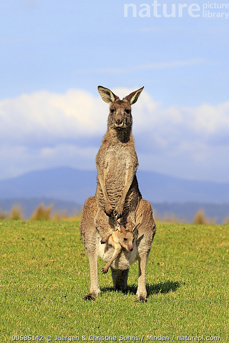 Eastern Grey Kangaroo (Macropus giganteus) mother with joey, Maloney Beach, New South Wales, Australia, Adult, Australia, Baby, Carrying, Color Image, Day, Eastern Grey Kangaroo, Endemic, Female, Front View, Full Length, Joey, Looking at Camera, Macropus giganteus, Maloney Beach, Marsupial, Mother, New South Wales, Nobody, Outdoors, Parent, Photography, Pouch, Two Animals, Vertical, Wildlife,Eastern Grey Kangaroo,Australia, Juergen & Christine Sohns